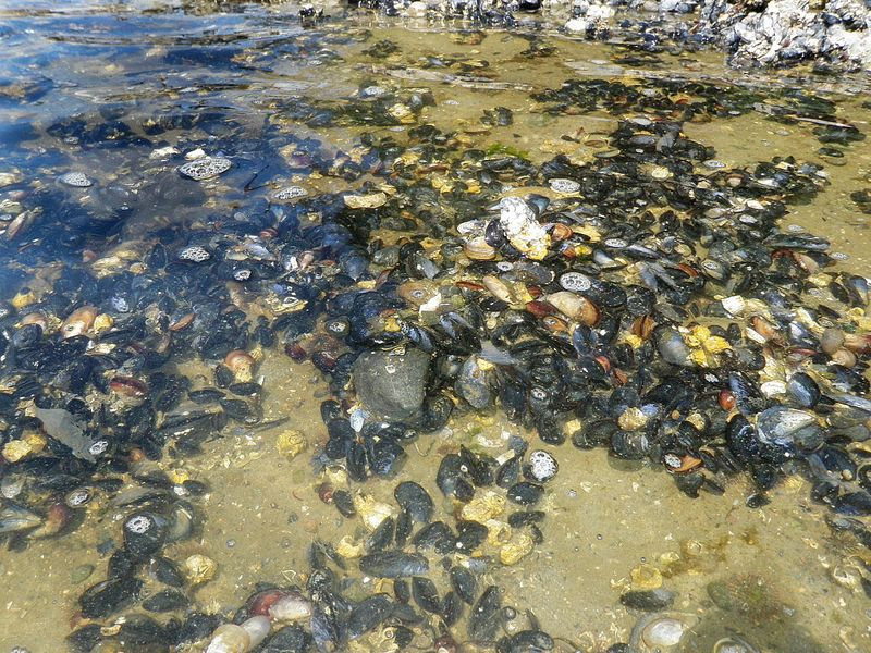 Mussel bed at Hope Island, WA