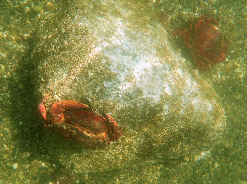 Dungeness crab, Hope Island, WA