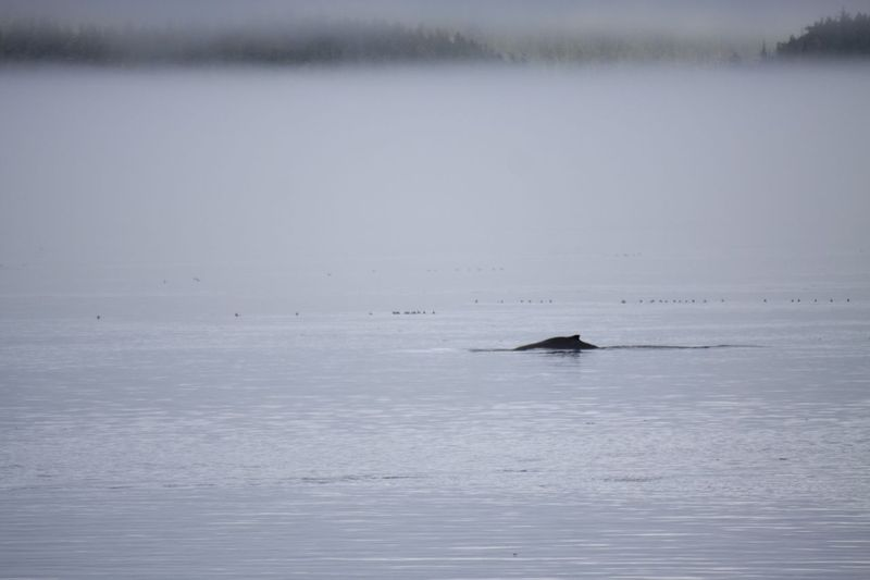 View of humpback whale in Blackfish Sound from Compton Island. Photo © Katya Palladina