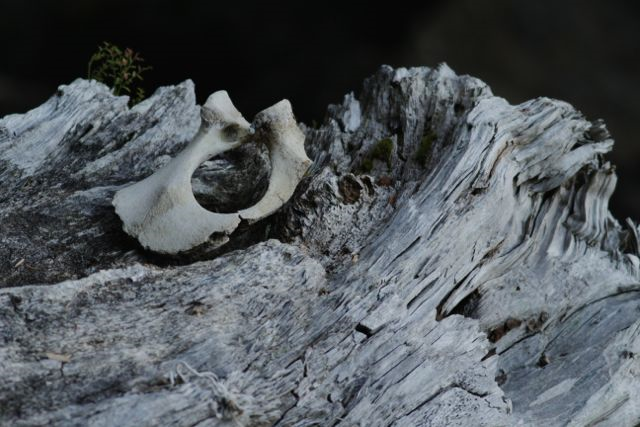 Pelvic bone of a seal on Flower Island.